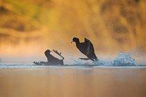 Na této vítězné fotografii v kategorii chování ptáků přelétají lysky černé (Fulica atra) nad vodou v anglickém hrabství Derbyshire.