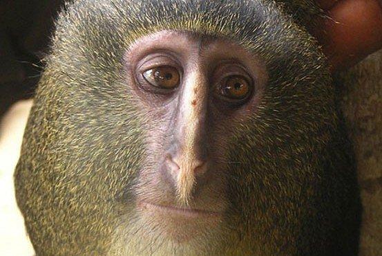 Vědci objevili v Kongu nový druh opice se smutným obličejem