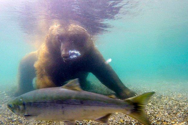 FOTOGALERIE: Lov lososů na Kamčatce