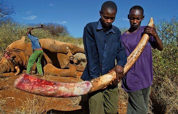 Krev a kly: jen vloni bylo zabito 25 000 slonů. EXKLUZIVNĚ PRO NG