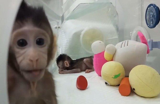 Naklonované opice v Číně