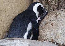 Pedro a Buddy museli být oddělěni a spárováni se samičkami, aby byl zachován vzácný druh tohoto tučňáka.