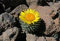 """Rostlinkám Chaetanthera villosa jsme dali pracovní název """"kvetoucí zelí""""."""