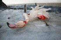 Na pobřeží jezera zůstalo mnoho mrtvých ptáků.
