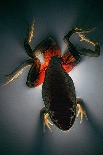 Jakmile se motolice Ribeiroa ondatrae nepohlavně rozmnoží vtěle plže, její larvy si najdou pulce skokana volského, zavrtají se mu do kůže a vytvoří cysty kolem jeho vyvíjejících se končetin. Oběť sdeformovanýma, chybějícíma nebo naopak přebývajícíma noh