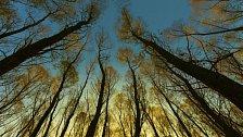Největší živé organismy na světě začaly vymírat. Nejstarší a největší stromy mizí, tvrdí nová studie
