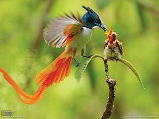 Lejskovec rajský krmí své mládě.