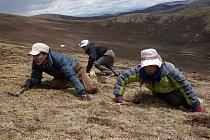 S tvářemi chráněnými před sluncem a nástroji na kopání v ruce mohou tibetské rodiny po celý den hledat housenky s houbovými vlákny zvané jarca günbu. Některé stonky trčí ze země sotva půl centimetru.