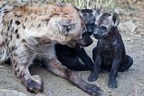 Hyena skvrnitá obvykle rodí 1 až 2 mláďata.