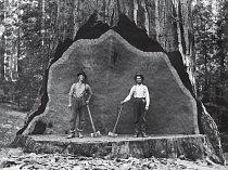 Než ho na začátku 20. století pokáceli, poskytl tento obr v Converse Basin pozadí stovkám zájemců o pózování na fotografii. Obtíže kácení zachránily sekvojovce obrovské v jiných lesích před tímto osud