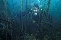 Potápěč se snaží proplout mezi hustou mořskou řasou (Chorda filum) rostoucí v obdivuhodném množství na útesu při pobřeží Walesu.