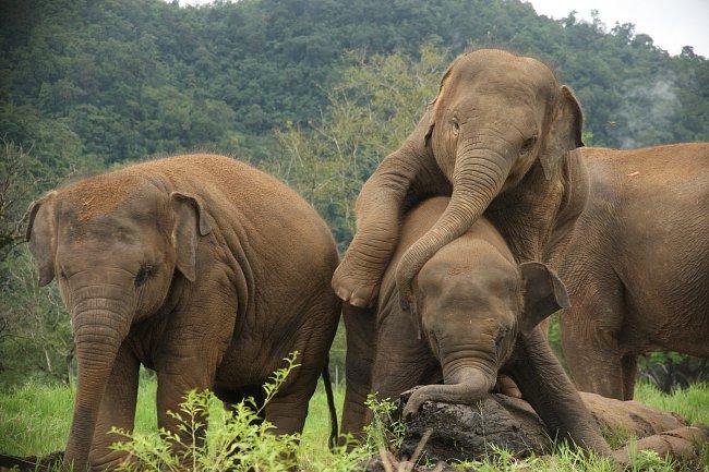 Slon indický původně obýval tropické deštěné lesy. Dnes patří mezi ohrožené druhy.