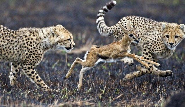 Olympiáda zvířecích rekordmanů. Člověk by neměl šanci