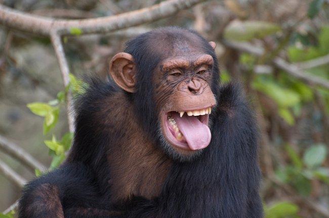 Na tváři šimpanzů se odrážejí jejich emoce