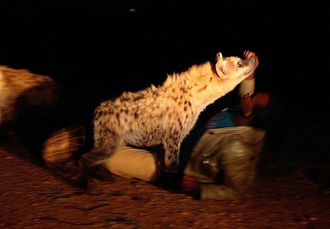 K sblížení člověka s hyenou skvrnitou pomohla tzv. konvergentní evoluce.
