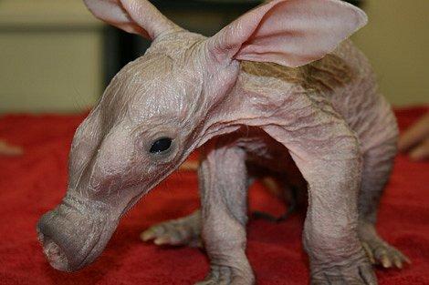 Nejdivnější zvíře Afriky