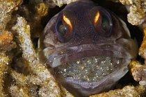 Ryba (z čeledi Opistognathidae - studnařovití) s plnou pusou vajíček.