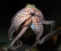 Pro samičku chobotnice je první milostná zkušenost zároveň labutí písní. Po páření naklade vajíčka do úkrytu na mořském dně a zůstává s nimi. Nepřetržitě je hlídá před predátory a neúnavně na ně střík