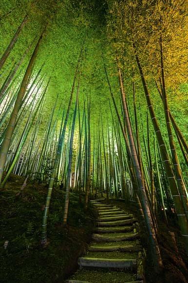 Klikatící se pěšinu u chrámu Kódajdži v Kjótu vroubí vysoké bambusové stvoly v barvě jadeitu.