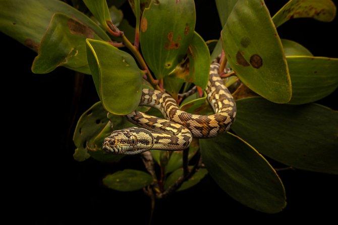 Diamond Python (Morelia spilota mcdowelli)