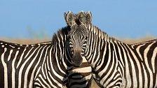 V keňské rezervaci Maasai Mara zachytil fotograf optickou iluzi v podobě dvou zeber s jednou hlavou.