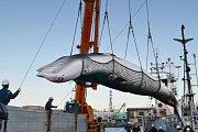 """Plejtváci malí, například plejtvák zobrazený na této fotografii při vykládání v jednom japonském přístavu, se loví v rámci programu """"lovu velryb pro vědecké účely""""."""