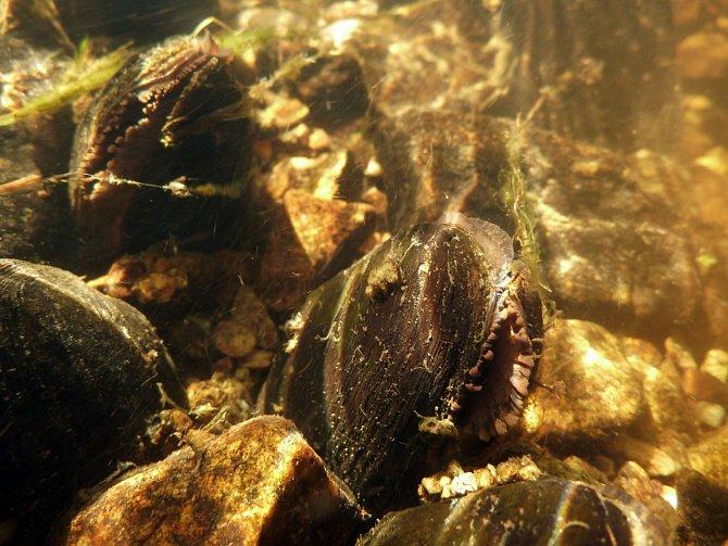 Ohrožený mizející druh perlorodka říční potřebuje velmi čistou vodu.