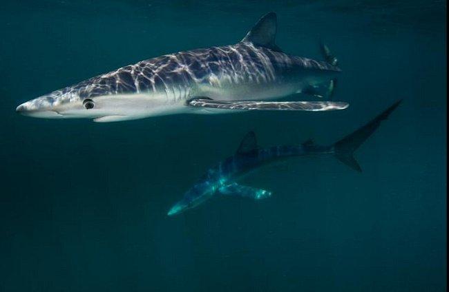 Block Island, Rhode Island: Žralok modrý