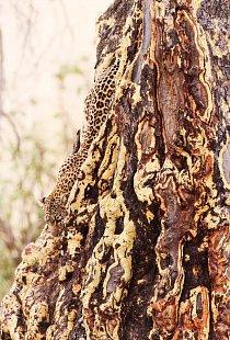 Levhart skvrnitý leze na do koruny stromů v jižní Africe.