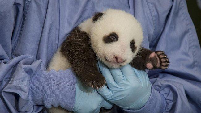 ONLINE: Sledujte novorozenou pandu. Má jen týden