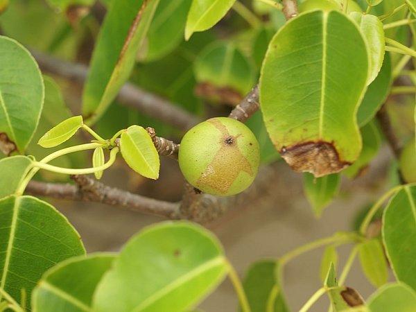 Nebezpečná 'zelená jablíčka'