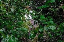 Slon indický vykukuje z listoví v bangladéšském lese Inani na kraji největšího uprchlického tábora na světě. Jde o jednoho z 38 slonů uvězněných v těsné blízkosti tábora, který jim blokuje migrační trasu.