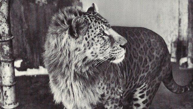 Zvířecí hybridi jsou většinou dílem člověka. Umí je ale i příroda