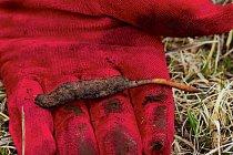 """Jarca günbu je kombinací larvy můry a parazitující houby. O vysoce ceněných """"červech"""", jak se infikovaným larvám říká, se věří, že vyléčí vše od ztráty vlasů po žloutenku."""