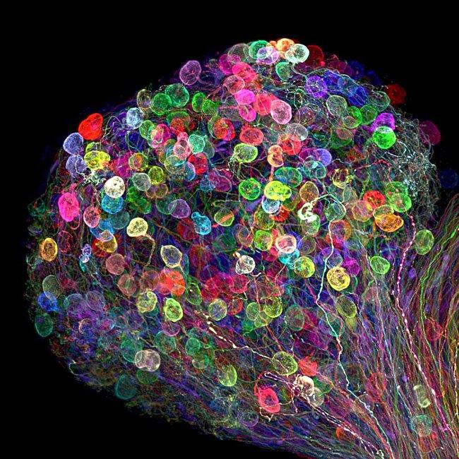 Axony v kuřecím embryu (Dr. Ryo Egawa, Japonsko)