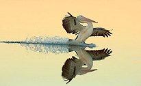 Snímek přistávajícího pelikána australského v australském Novém jižním Walesu zvítězil v kategorii let.