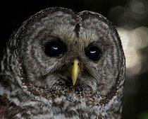 Puštík proužkovaný byl nalezen slabý a podvyživený a byl převezen do Humboldt Wildlife Care Center.