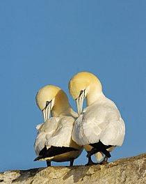 Terejové bílí tráví většinu roku na moři. Zhruba dvě třetiny z jejich celkové světové populace sídlí ve Velké Británii.