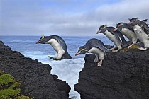Tučňáci skalní musejí na ostrově Marion překonávat skalní útesy a bouřlivé vlny.