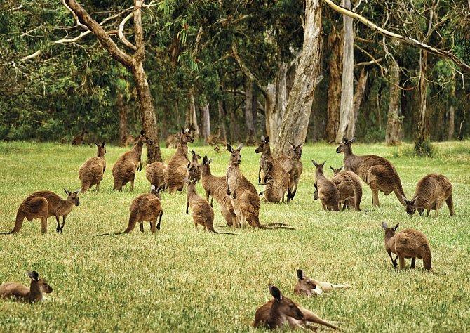 Ať jsou malí klokani seberoztomilejší nebo na jiných kontinentech populární, zde patří mezi škůdce.
