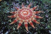 Hvězdice čeledi Solasteridae (Crossaster papposus)
