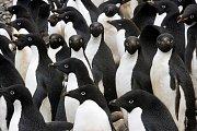 Kromě kolonie tučňáků kroužkových objevili vědci také zhruba 100 hnízd tučňáků oslích a 27 hníz tučňáků uzdičkových.