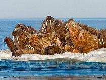 """Smíšená skupina mrožích samců, samic amláďat leží naledové kře veFoxe Basin. """"Když někdo znich špatně říhne, vyslouží si šťouchnutí odsouseda,"""" říká výzkumník Robert Stewart. """"Mláďata však mají i"""