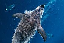 Když tučňák císařský plave ve vodě, je zpomalován třením svého těla a vody, a udržuje tak maximální rychlost zhruba mezi 1,2 až 2,7 metru za sekundu.
