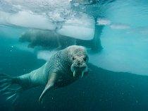 Mroži plavou mezi ledovými krami ugrónského pobřeží.