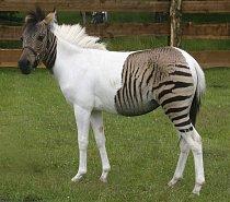 Kříženec zebry a koně (angl. zorse ze slov zebra a horse) jménem Eclyse  se narodila v zoo Holte-Stukenbrock v západním Německu. Hříbě se narodilo omylem, když jeho matka-zebra