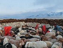 Kyrgyzské dívky v červeném oblečení shánějí před dojením ovce do ohrady.