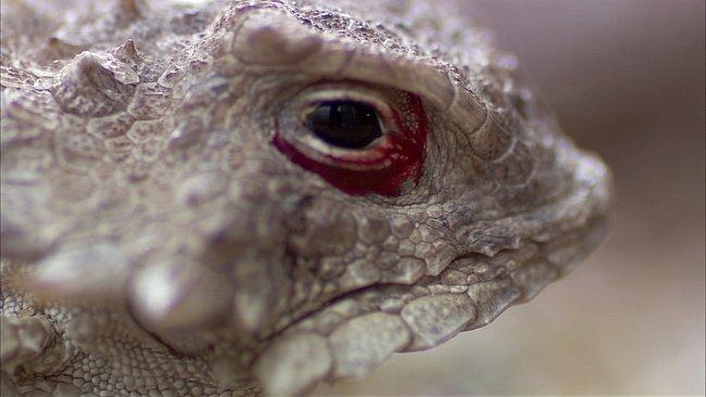 Severoamerický ještěr ropušník slunečný je poměrně malý živočich (velký kolem 8 centimetrů)