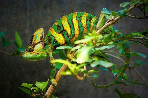 Když je sameček chameleona vklidu, je většinou zelený.