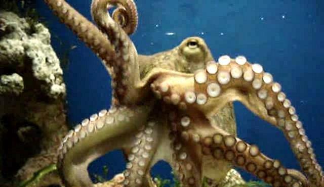 VIDEO: Páření chobotnic připomíná romantiku v bahně